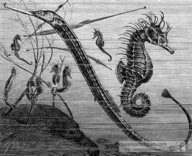 pipe-fish-and-sea-horse-bw-animal-illustration.jpg