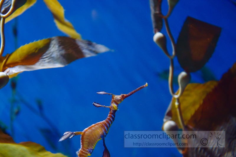 Weedy-seadragon-Phyllopteryx-taeniolatus-photo-790.jpg