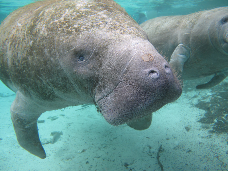 photo-of-a-manatee-under-water.jpg