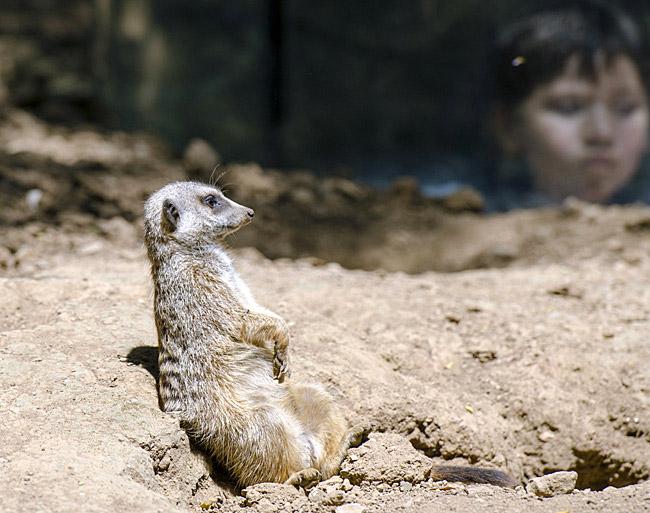meerkat_boy_looing_at_0491.jpg