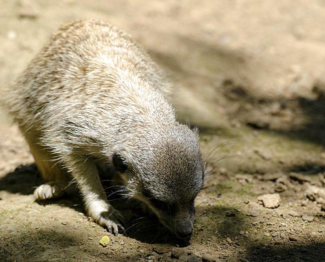 meerkat_head_down_0503.jpg