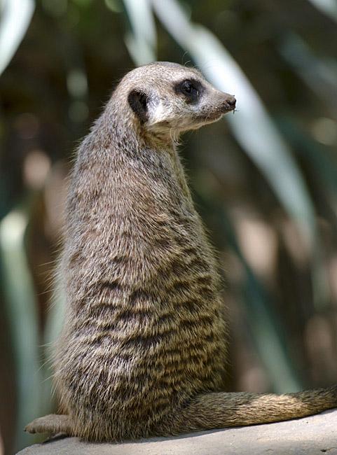meerkat_sitting-0501.jpg