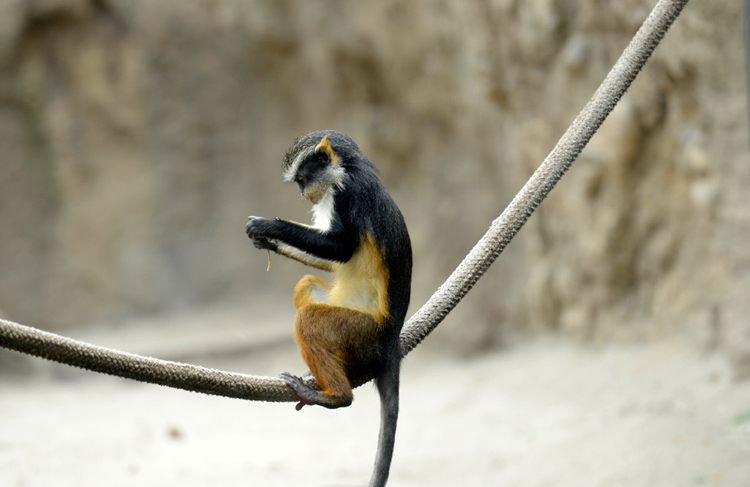 guenon-sitting-on-rope-34A.jpg