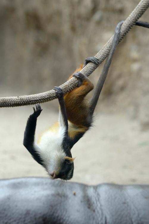 guenon-upside-down-rope.jpg