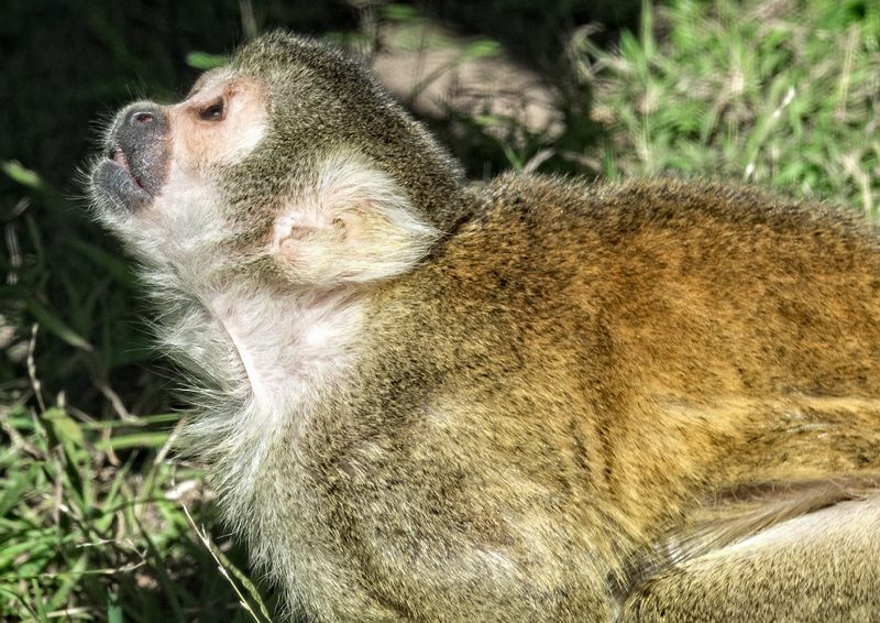 squirrel-monkey-photo_8463a.jpg