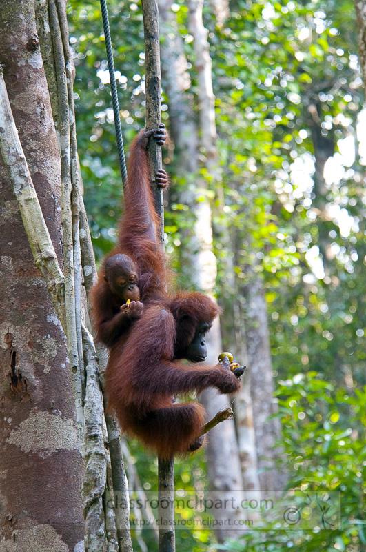 Borneo_1838a.jpg