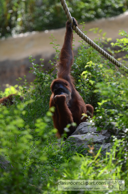 orangutan_hanging_on_rope_2411A.jpg