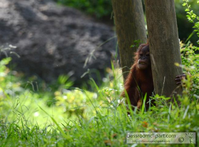sumatran_orangutan_2392Aa.jpg