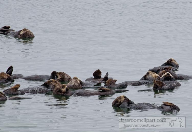 photo-group-sea-otter-swimming-along-california-coast-7481E.jpg
