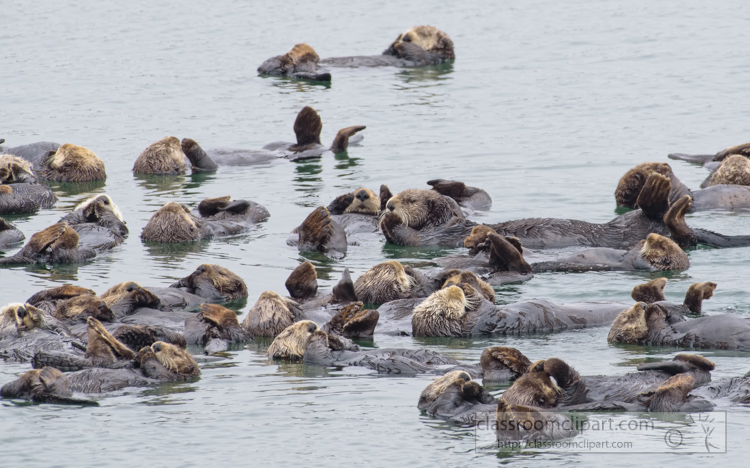 photo-group-sea-otter-swimming-along-california-coast-7493E.jpg