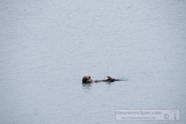 photo-single-sea-otter-swimming-along-california-coast-7428E.jpg