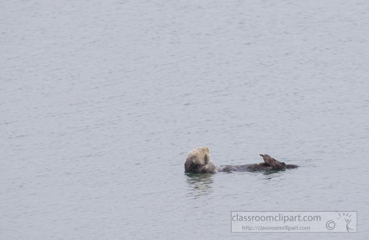 photo-single-sea-otter-swimming-along-california-coast-7429E.jpg