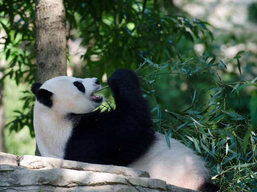 panda_on_back_eating_027a.jpg