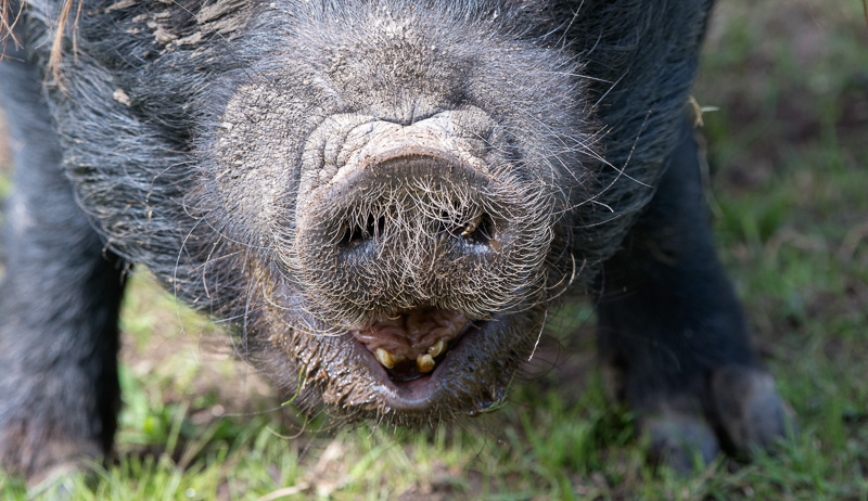 sus-scrofa-domesticus-guinea-forest-hog-photo-5056.jpg
