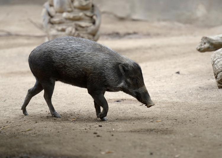 wild-pig-1514A.jpg