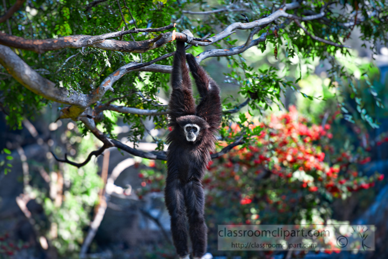siamang-primate-hanging-from-tree-photo_8430E.jpg