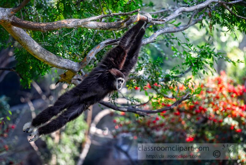 siamang-primate-hanging-from-tree-photo_8432EE.jpg