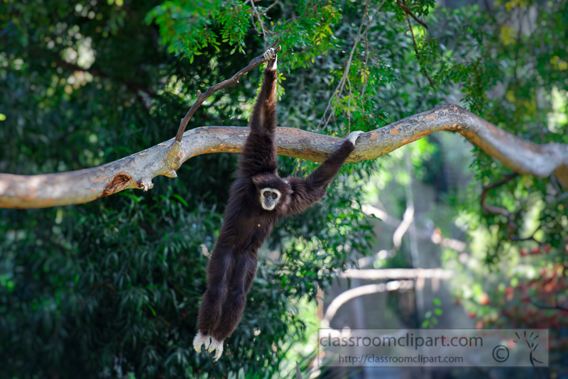 siamang-primate-hanging-from-tree-photo_843E.jpg