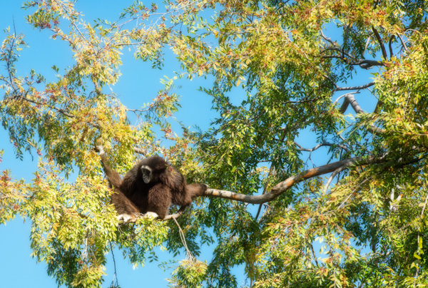 siamang-primate-sitting-high-on-tree-photo_8389E.jpg