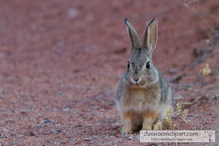 cottontail_rabbit.jpg