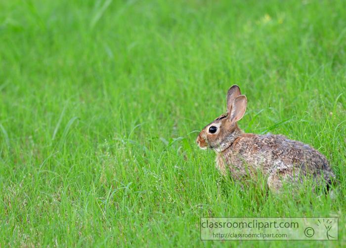 wild_rabbit_in_grass.jpg