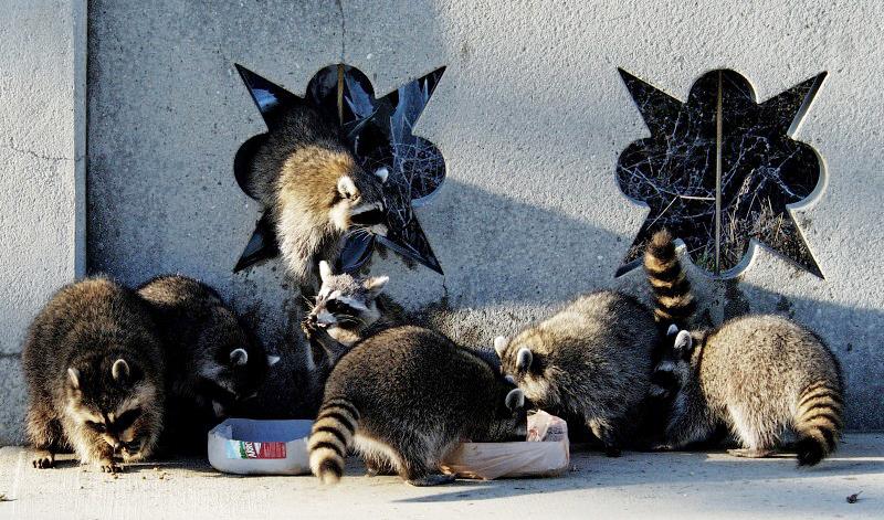 group-of-raccoons-eating_10_28_27.jpg