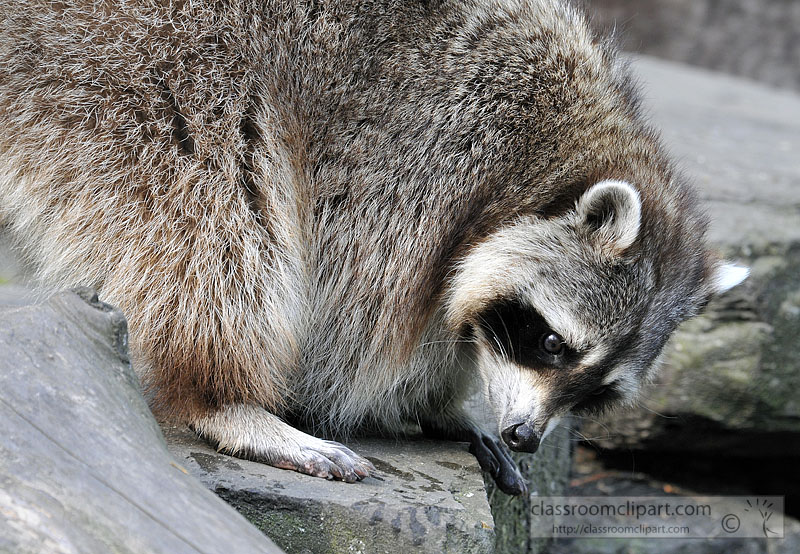 picture-raccoon-6308A.jpg