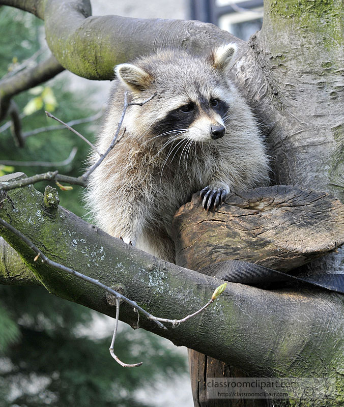 picture-raccoon-climbinb-tree-5A-2015.jpg