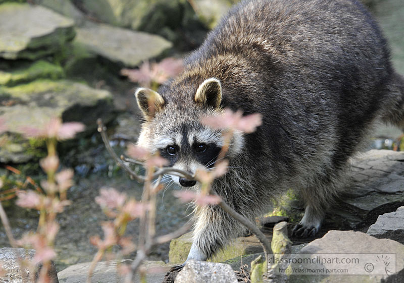 picture-raccoon-near-rocks-2015.jpg