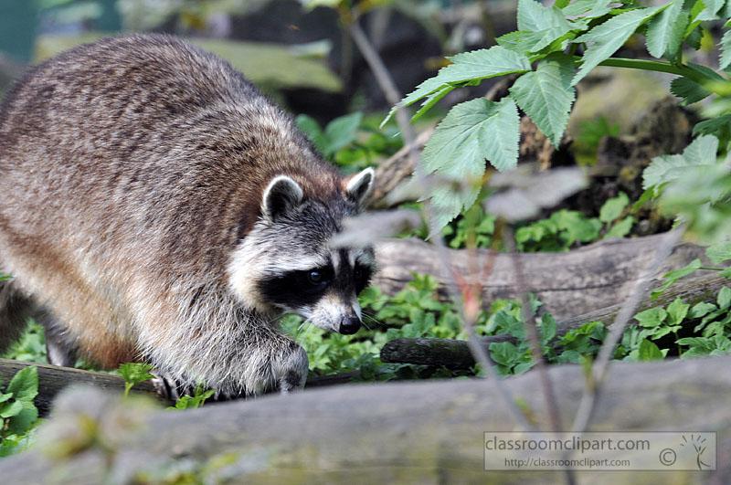 picture-raccoon-walking-near-plants-6292A.jpg