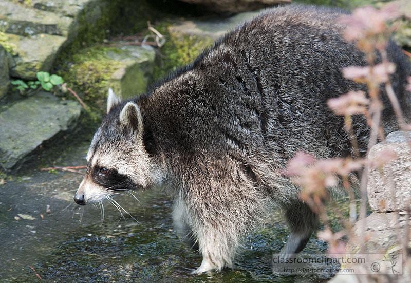raccoon-near-stream-water.jpg