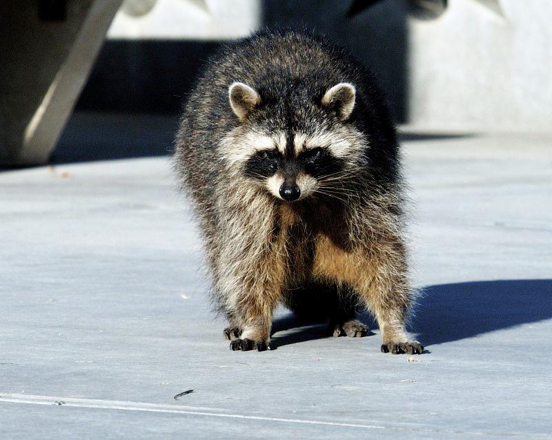 raccoon-walking_10_28_48.jpg