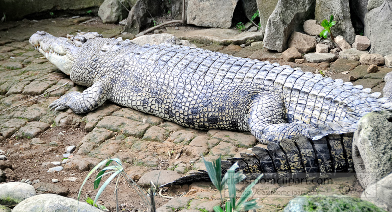 alligator-bali-reptile-park-image-6370a.jpg