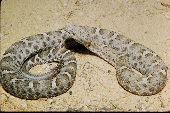 Mexican_Ridged_Nosed_Rattlesnake.jpg