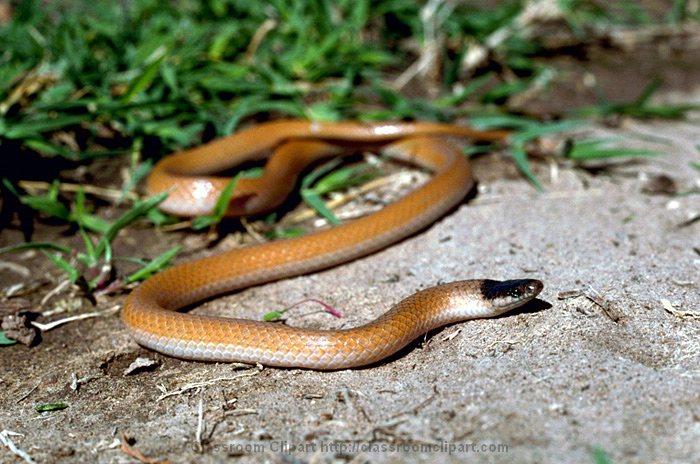 Plains_Black-headed_Snake.jpg