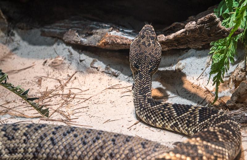 eastern-diamondback-snake-photo-4102.jpg