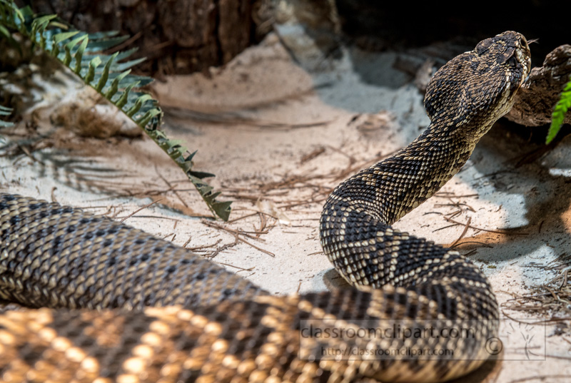 eastern-diamondback-snake-photo-4117.jpg