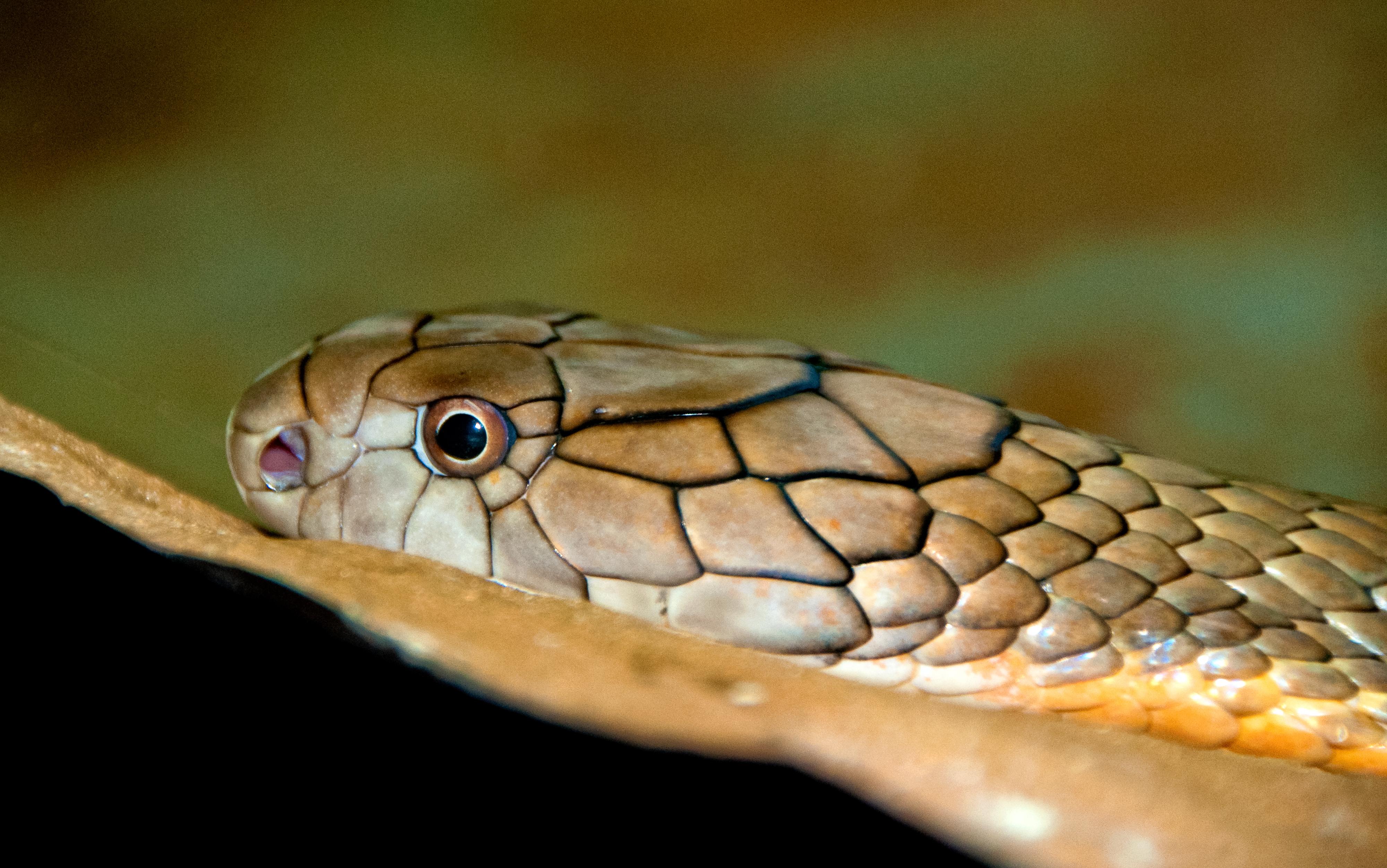 king-cobra-snake-farm-bangkok-photo-4725.jpg