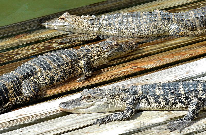 group-of-alligators-sitting-on-deck-picture-image-fl.jpg
