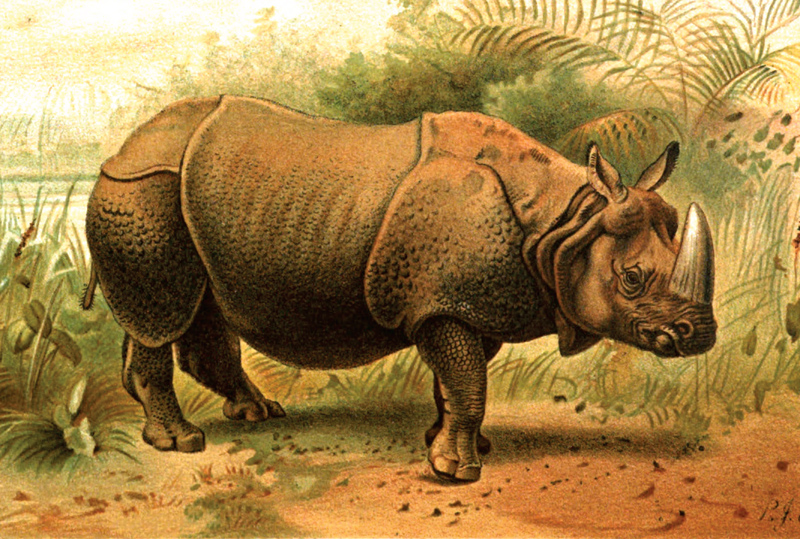 indian-rhinoceros-054.jpg