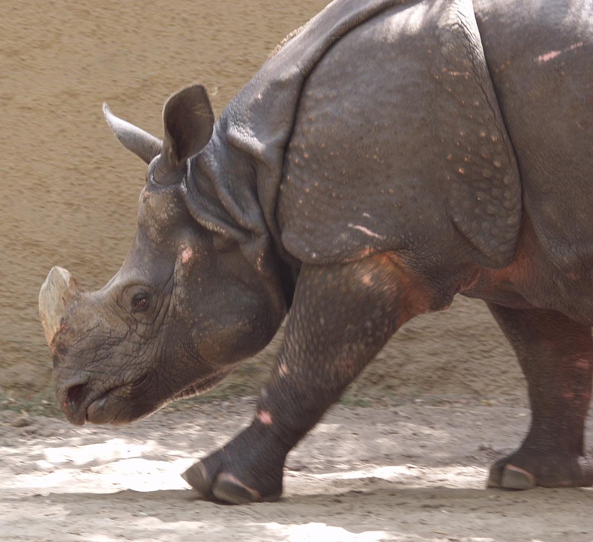 rhino0001.jpg