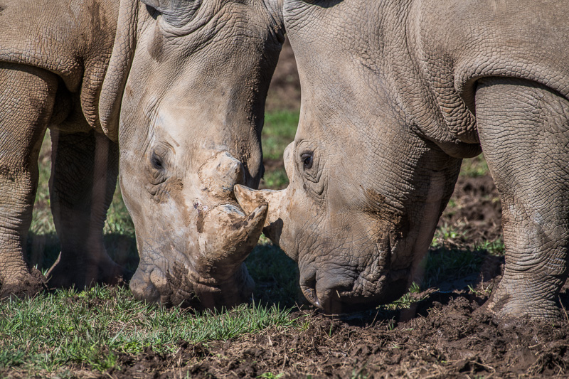southern-white-rhinoceros-photo-3621.jpg