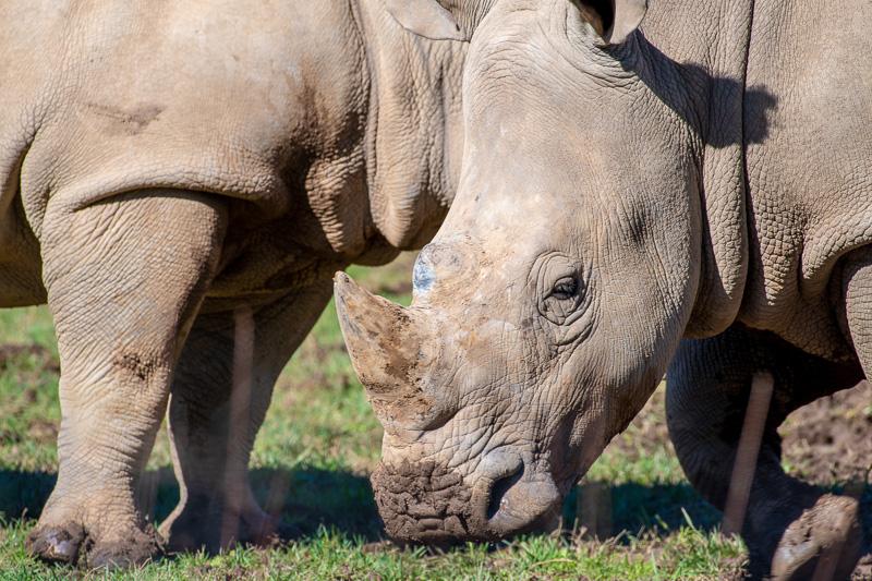 southern-white-rhinoceros-photo-3630.jpg