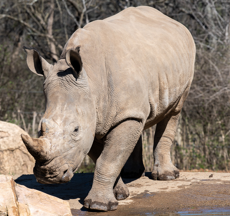 southern-white-rhinoceros-photo-3670.jpg