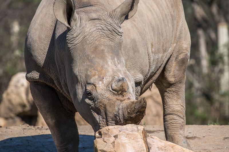 southern-white-rhinoceros-photo-3672.jpg
