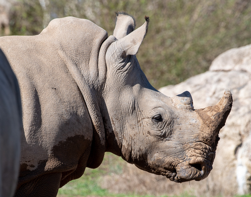 southern-white-rhinoceros-photo-3692-2.jpg
