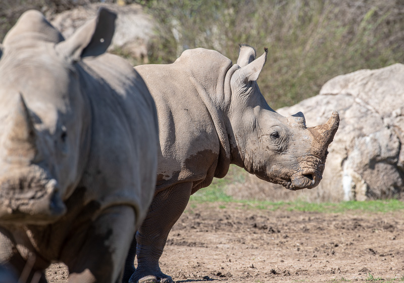 southern-white-rhinoceros-photo-3692.jpg