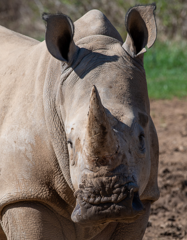 southern-white-rhinoceros-photo-3695-2.jpg