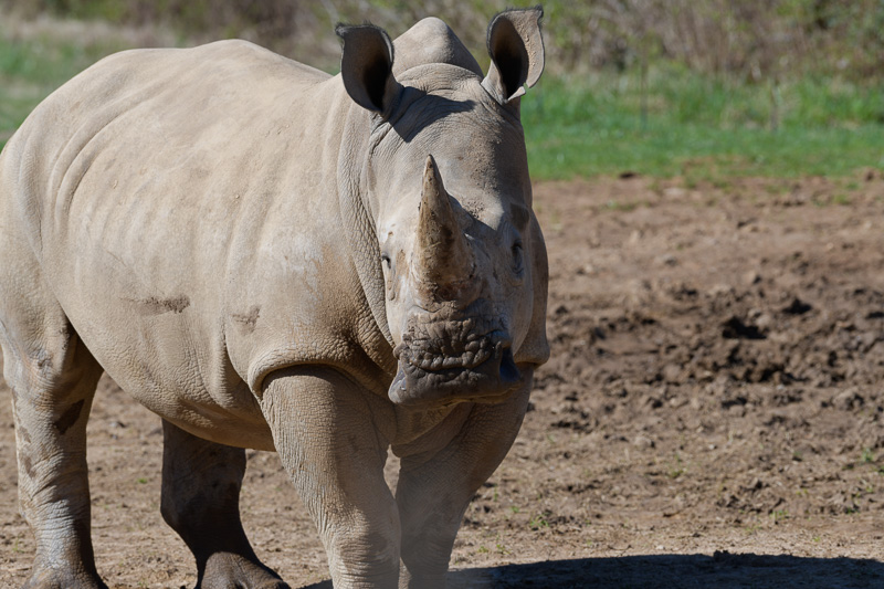 southern-white-rhinoceros-photo-3695.jpg
