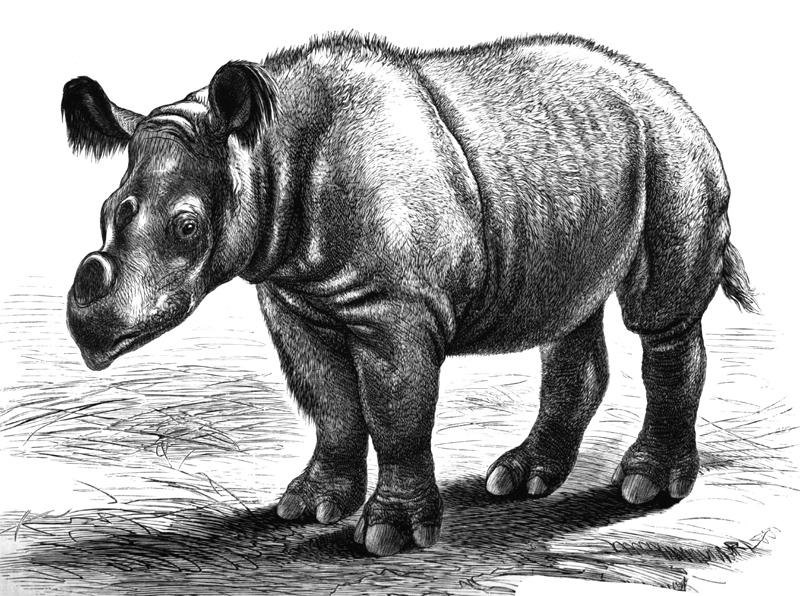 sumatran-rhinoceros-illustration.jpg